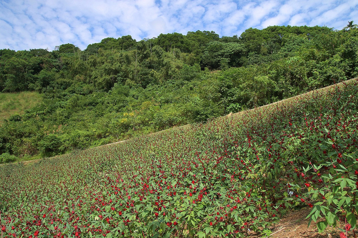 "Organic Farming Demonstration of Roselles""Taitung 1 to 3"""