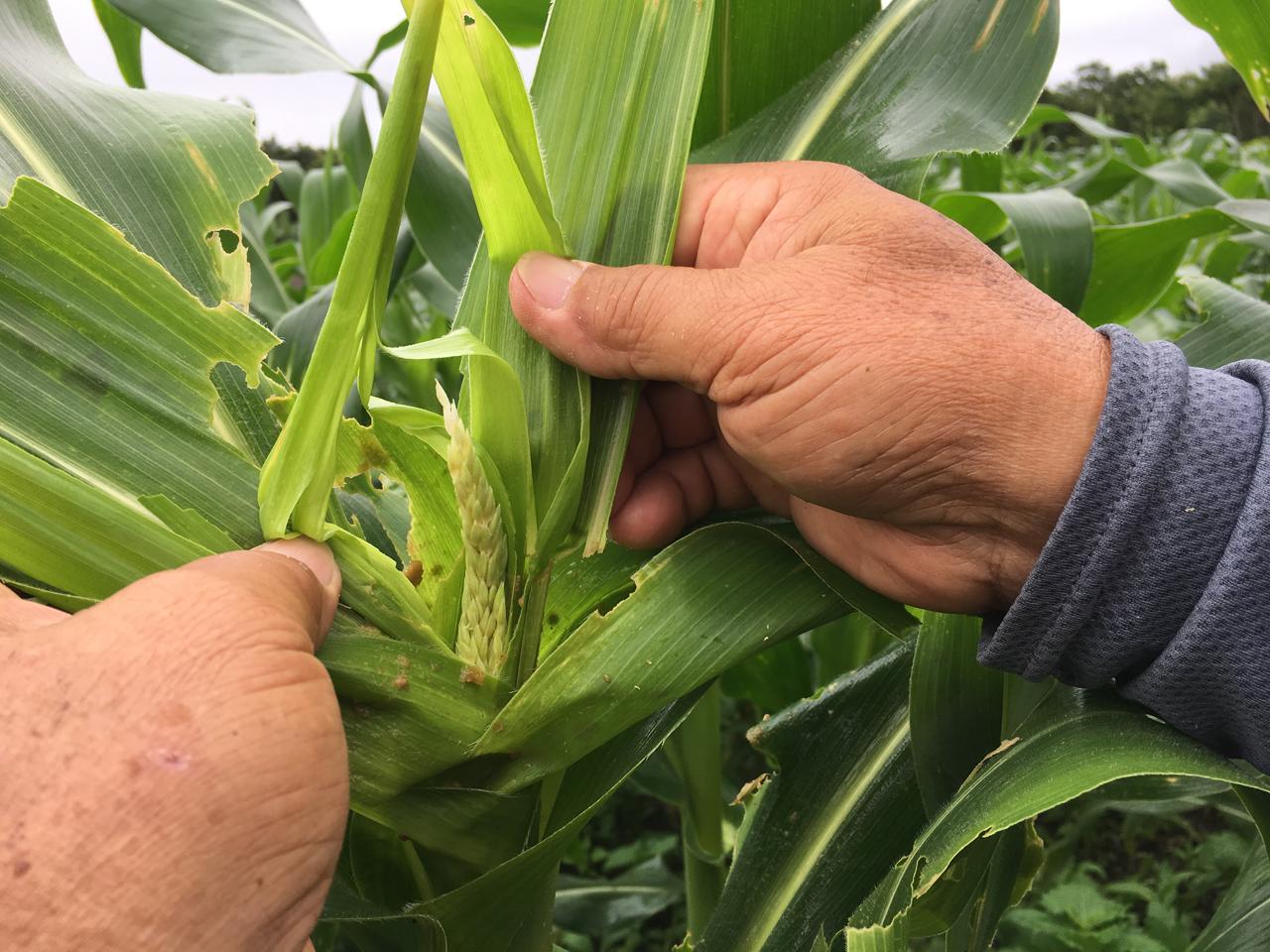 玉米被害狀