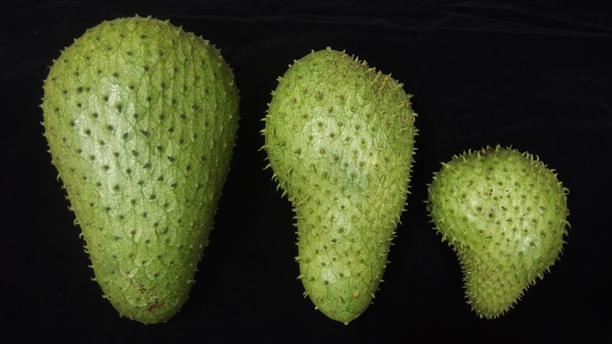 刺番荔枝人工授粉(左)與自然授粉果實(中、右)之外觀比較